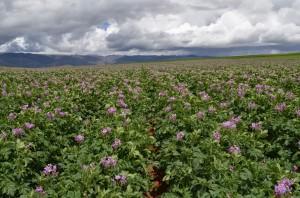 Cultivo de papa sin enfermedades registra una mayor producción.