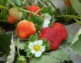 Cultivo convencional de fresa