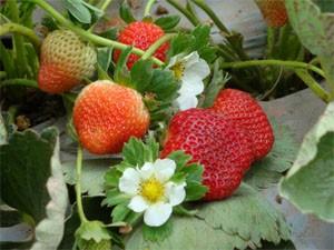 Cosecha de fresa sana y abundante