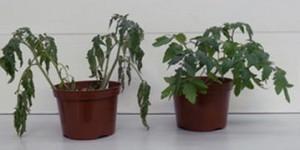 Plantas de jitomate sometidas al estrés hídrico cultivadas sin (izquierda) y con (derecha) el microorganismo Trichoderma harzianum. después de varios días en los que el suministro de agua fue retenido. La resistencia a la sequía es evidente.