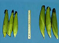 Mazorcas tratadas con Trichoderma harzianum versus las mazorcas testigo