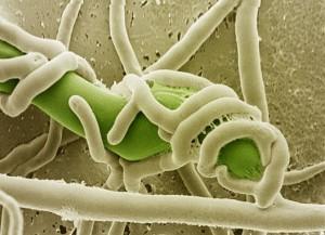 Hifas de Trichoderma harzianum enroscadas sobre patógeno de plantas