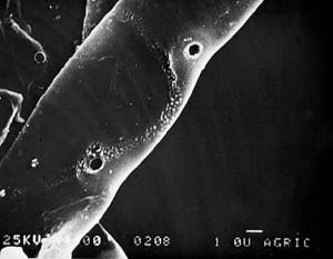 Hifa de Rhizoctonia solani perforada por apresoria de Trichoderma harzianum